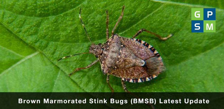 Brown Marmorated Stink Bugs ( BMSB ) Latest Update
