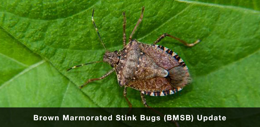 Brown Marmorated Stink Bugs News Update