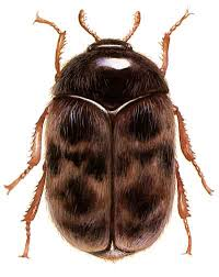 Khapra Beetle update  ( PLANT PRODUCTS ONLY )